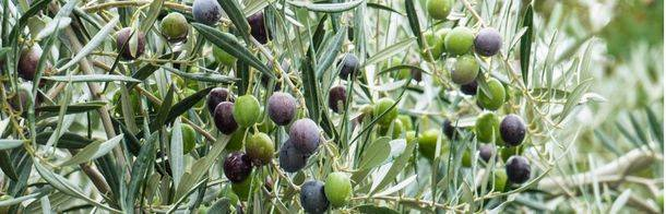 Túnez, la primera potencia no Europea en producir aceite de oliva