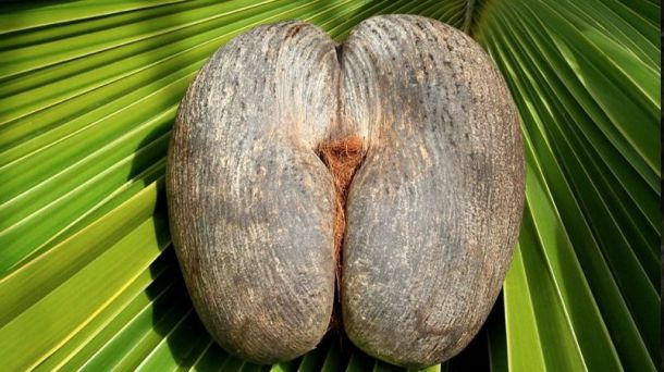Islas Seychelles: Coco de mar (I)