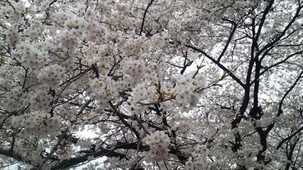Hanami: Uno de los grandes atractivos de Tokio